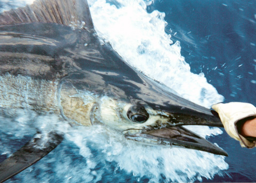 Deep Sea Fishing for Sailfish is productive from Hollywood to South Beach
