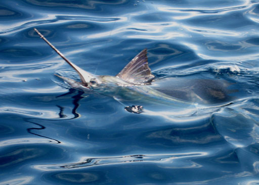 Old Hat Fishing Charters catches Sailfish looking at angler