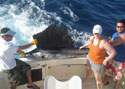 A huge Sailfish caught while Sport Fishing off Miami Beach